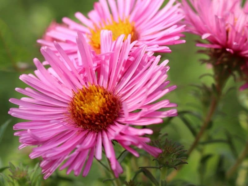 pink-asters